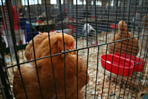 State Fair Chicken